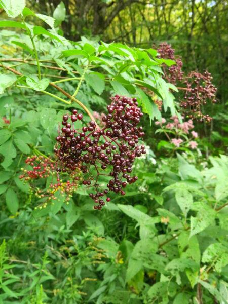 Sambucus canadensis Elderberry fruit