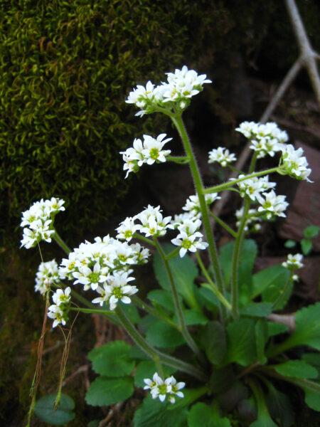 Saxifraga virginiensis Early Saxifrage