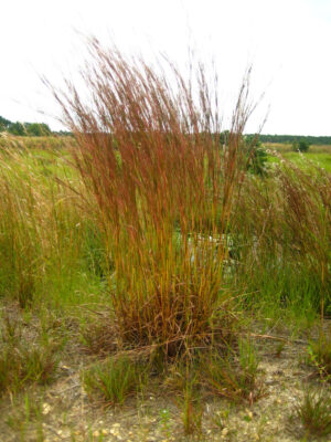 Schizachyrium scoparium Little Bluestem form