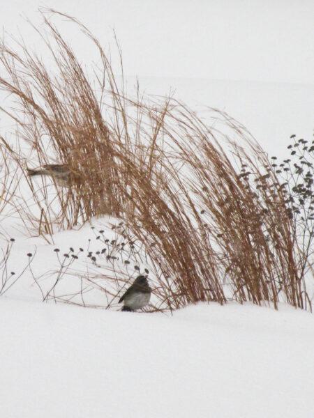 Juncoes foraging seeds in the snow with Schizachyrium scoparium, Little Bluestem