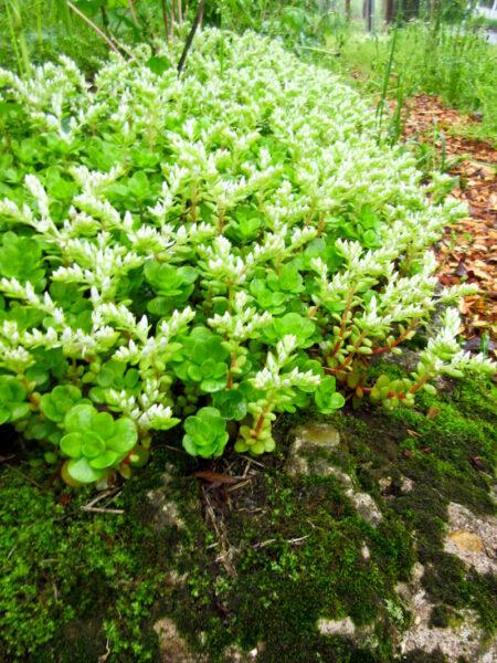 Sedum ternatum Woodland Stonecrop