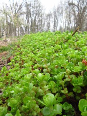 Sedum ternatum Woodland Stonecrop groundcover