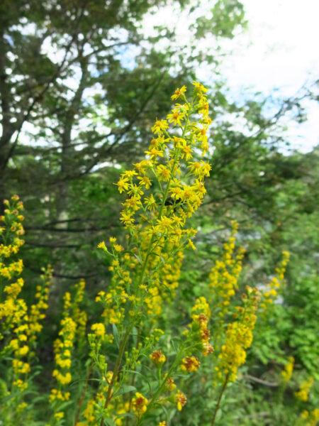 Solidago puberula Downy Goldenrod flowers