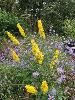 Solidago puberula Downy Goldenrod native plant garden