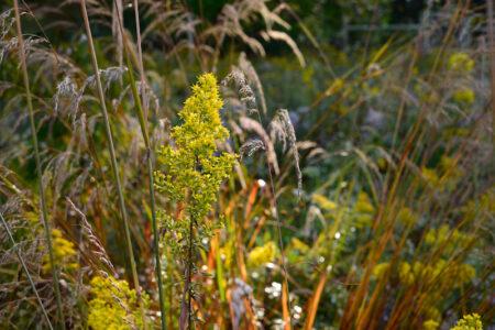 Solidago speciosa Showy Goldenrod meadow