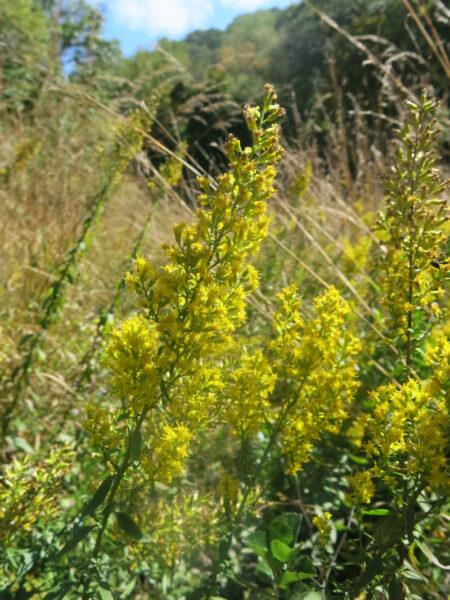 Solidago speciosa Showy Goldenrod flowers