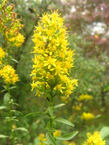 Solidago speciosa Showy Goldenrod wildflower