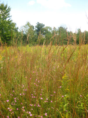 Sorghastrum nutans Indian Grass