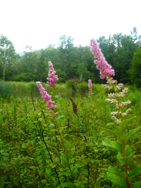 Spiraea tomentosa Steeplebush Catskills
