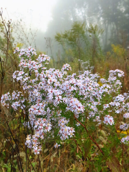 Symphyotrichum cordifolium Blue Heartleaf Aster autumn bloom
