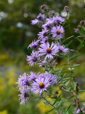 Symphyotrichum novae-angliae New England Aster wildflower