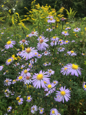 Symphyotrichum patens Late Purple Aster