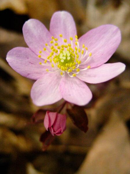 Thalictrum thalictroides Rue Anemone flower