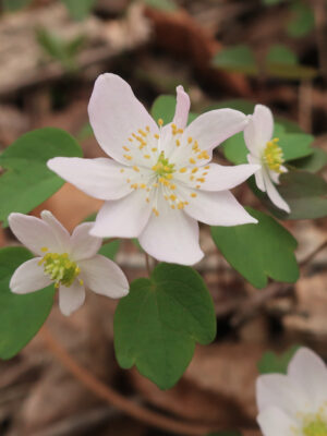 Thalictrum thalictroides Rue Anemone flower