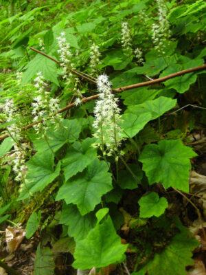 Tiarella cordifolia Foamflower
