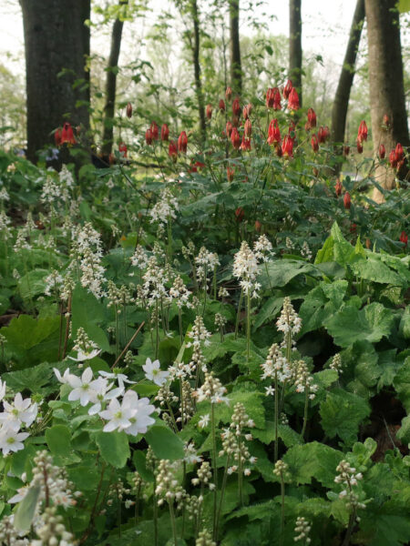 Tiarella cordifolia Foamflower native garden