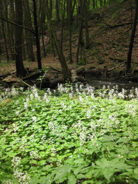 Tiarella cordifolia Foamflower garden
