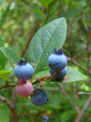 Vaccinium corymbosum Highbush Blueberry fruit
