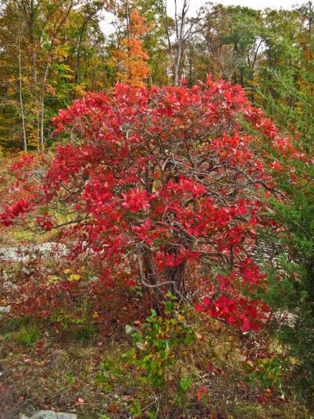 Vaccinium corymbosum Highbush Blueberry fall color