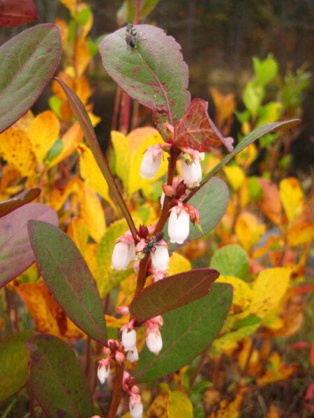 Vaccinium corymbosum Highbush Blueberry flowers