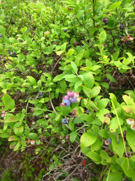 Vaccinium pallidum Lowbush Blueberry