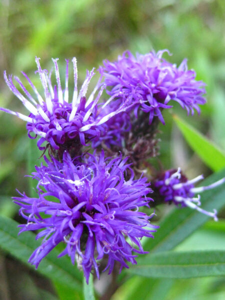 Vernonia noveboracensis New York Ironweed closeup of native wildflower