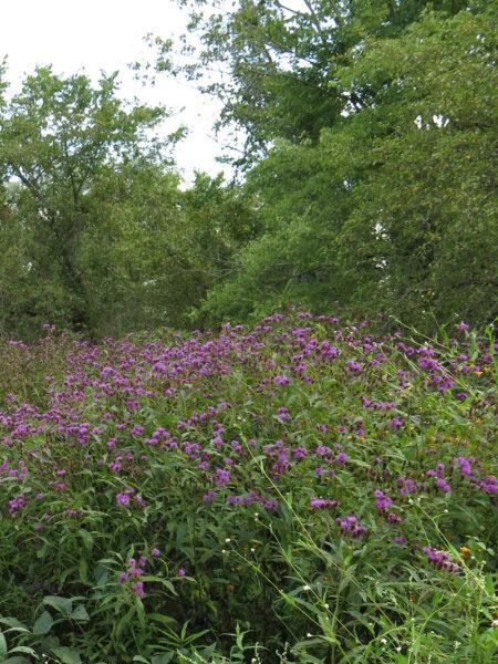 Vernonia noveboracensis New York Ironweed in flower