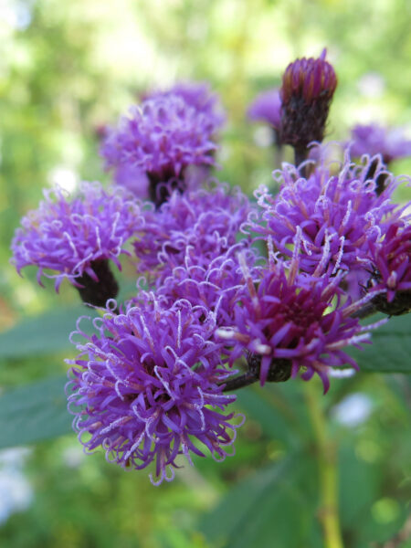 Flowers on Vernonia noveborecensis, New York Ironweed