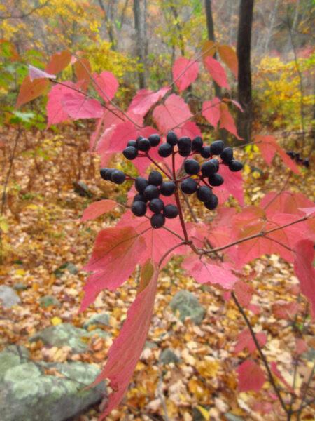 Viburnum acerifolium Mapleleaf Viburnum fruit