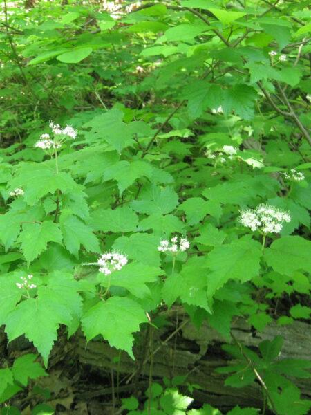 Viburnum acerifolium Mapleleaf Viburnum foliage