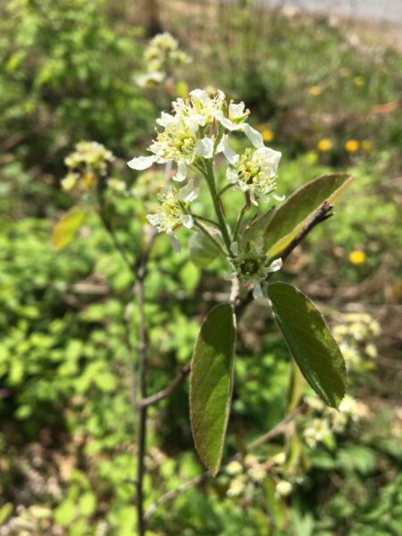 Amelanchier stolonifera running serviceberry in flower