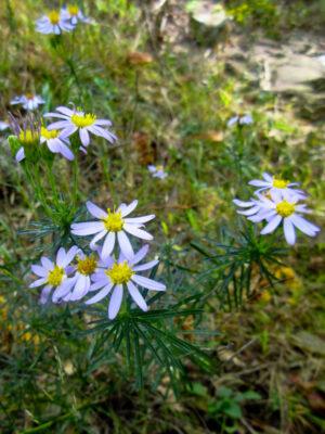 Stiff aster flowers form Ionactis linariifolius