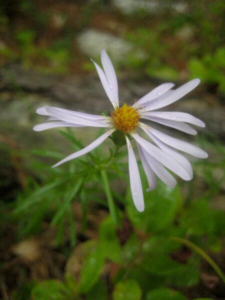 Ionactis linariifolius bloom closeup