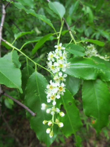 Prunus serotina black cherry flowers