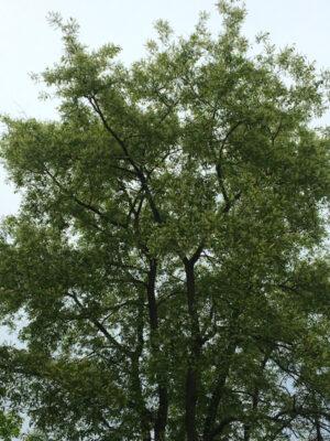 Prunus serotina black cherry form