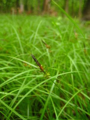 Pennsylvania sedge in seed