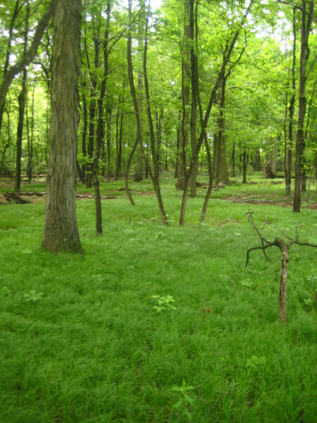 Ground cover of Carex pensylvanica