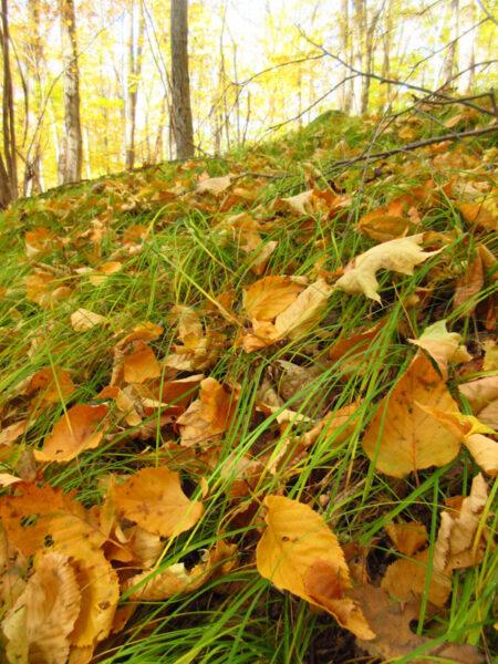 Hillside of Pennsylvania sedge in autumn