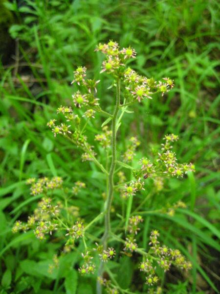 Swamp saxifrage flowers Saxifraga pensylvanica Wild Ridge