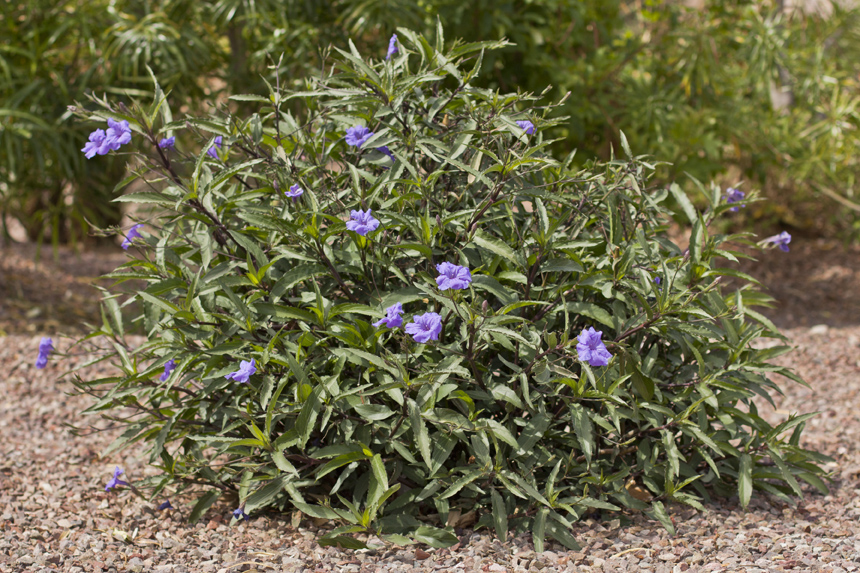 English Ruellia