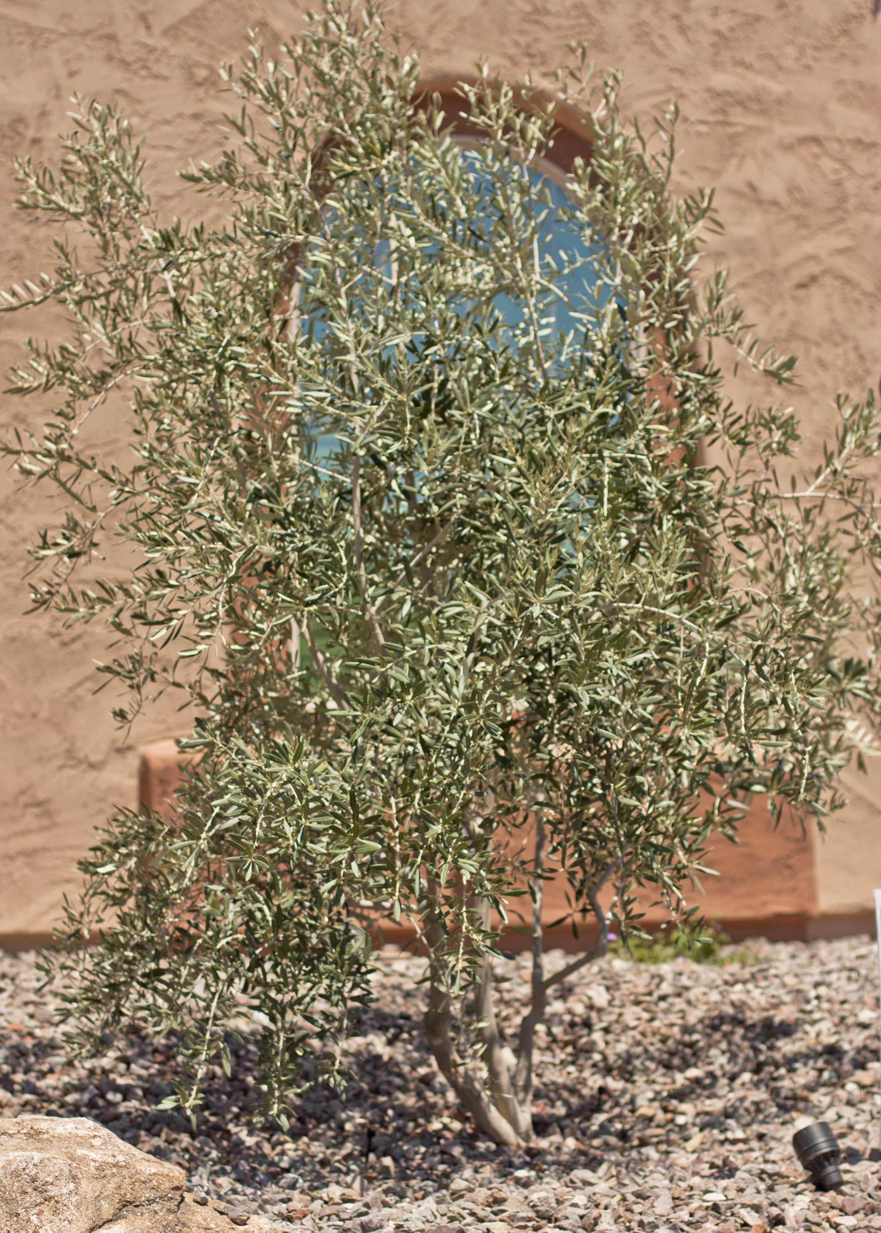Sterile Olive