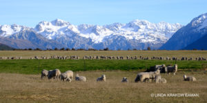 Sheep graze on flat land with snow-capped mountains in the distance.