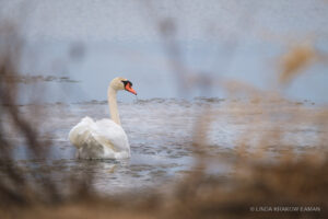 Looking through shoreline reeds at a swan in icy water.