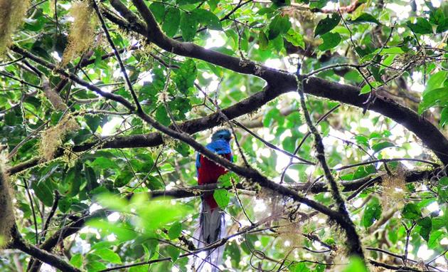 Quetzal in the Monte Verde Cloud Forest