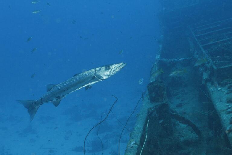 Barracuda Curacao