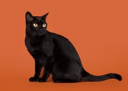 Bombay Cat Breed black