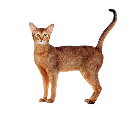 abyssinian cat breed