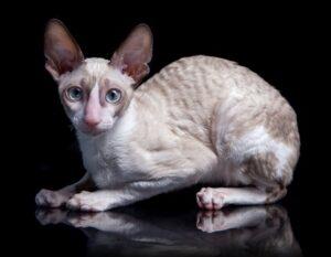Cornish Rex Cat breed