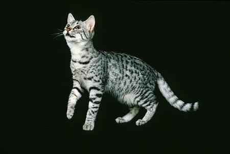 Egyptian Mau cat breed