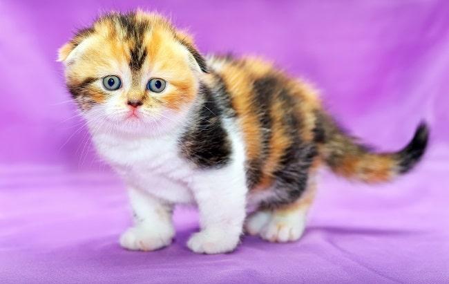 Scottish Fold cute kitten